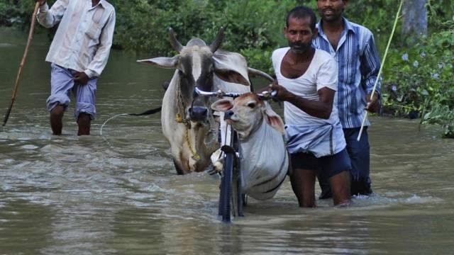 Inder transportieren ein Kalb mit einem Velo durch die Fluten
