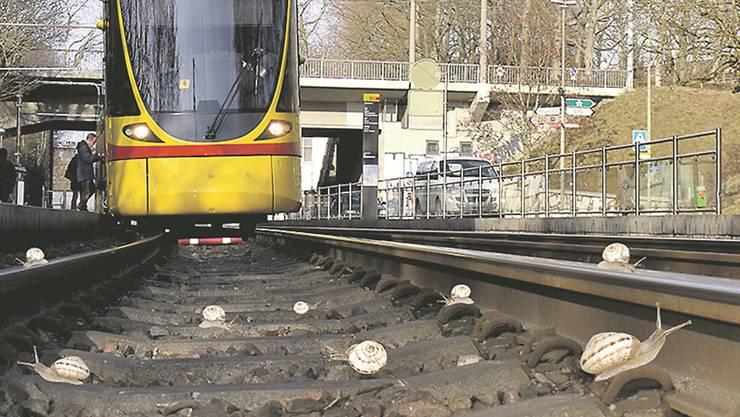 Neues Zuhause wegen Tramprojekt: Die Quendelschnecken müssen vom Dorenbach-Viadukt auf einen Autobahntunnel umziehen.
