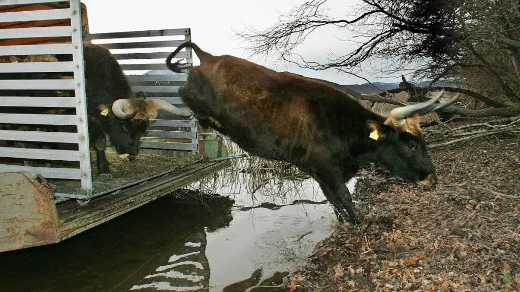 Ein Auerochse, auch Heckrind genannt, springt auf einer Insel im deutschen Staffelsee in die Freiheit. In Kroatien wurden nun sogenannte Tauros-Rinder ausgewildert, die dem ausgestorbenen Urrind noch ähnlicher sein sollen. (Archivbild)