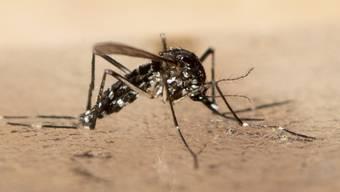Aktuell kann die Stadt Entwarnung geben: In diesem Sommer wurden noch keine Tigermücken gefunden. Im Bild ein Exemplar aus dem vergangenen Sommer.