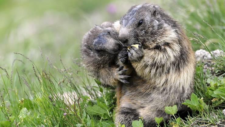 Tapfere Murmeltiere betteln bei den Besuchern des Rhonegletschers. Die Schweiz tut sich schwer, ihren Lebensraum, die Natur, zu schützen.