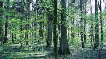 Dies ist eine Teilansicht des Waldes auf dem Buschberg in Wittnau, der ab sofort für Bestattungen zur Verfügung steht.