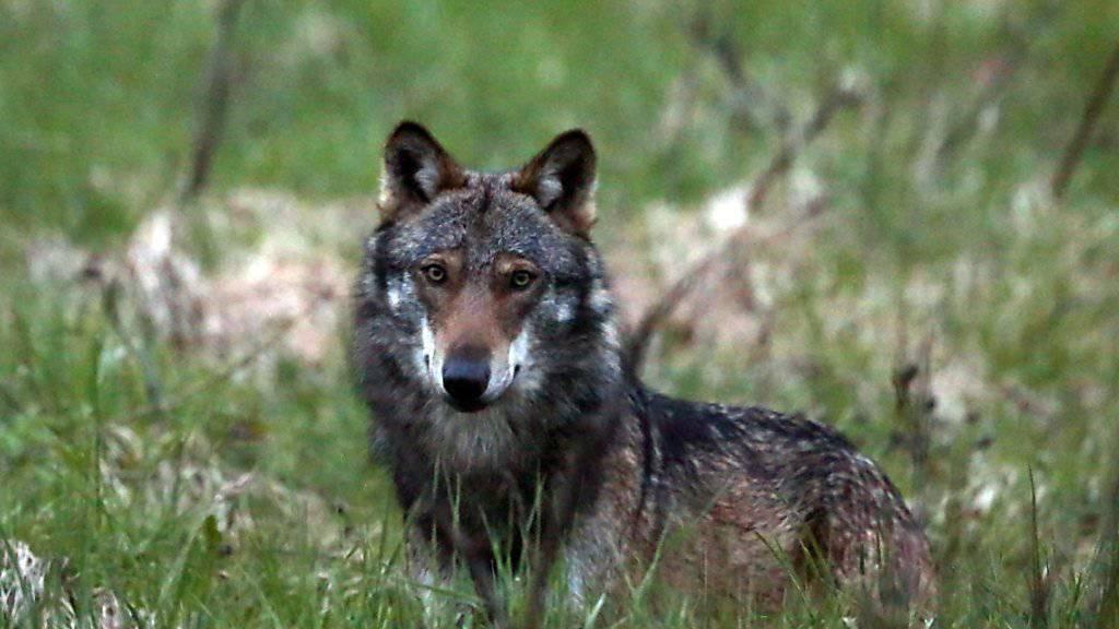 Der Wolf: Berggebiets-Politiker wollen seinen Schutzstatus europaweit senken (Themenbild).