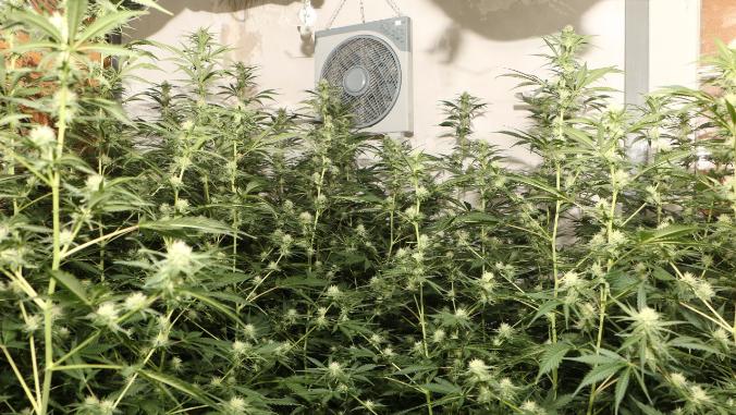 Nebst den rund 150 Pflanzen wurden auch über zwei Kilogramm Marihuana, knapp 260 Gramm Haschisch sowie 13 Gramm Pilze sichergestellt.