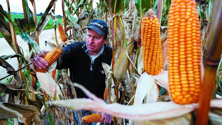 Prüfender Blick: Der Grenchner Ackerbauer Hansruedi Scheurer ist zufrieden mit der diesjährigen Ernte – nicht nur was den Mais betrifft. (Fotos: Hanspeter Bärtschi)