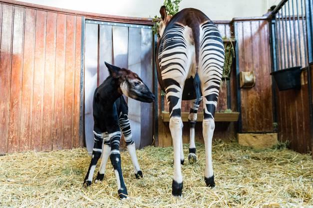 Schon zwanzig Minuten nach der Geburt sei er auf seinen zittrigen, aber stämmigen Beinen gestanden und habe bei seiner Mutter nach der Milchquelle gesucht.