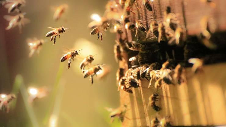 In der Bienenkiste herrscht im Sommer ein emsiges Treiben.