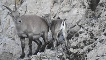 Steingeiss mit Jungtier auf dem Rotsteinpass