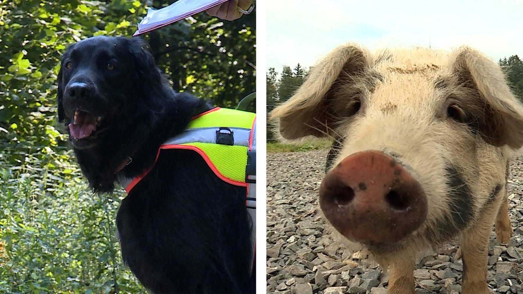 Spürhunde / Krötenrettung mit Schweinen