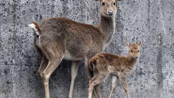 Asiatische Burma-Leierhirsche bringen ihre Jungen im Winter zur Welt.
