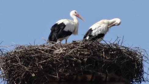 Ein Storchenpaar in Rheinfelden. Viele Artgenossen nehmen die Reise in den Süden nicht länger auf sich.