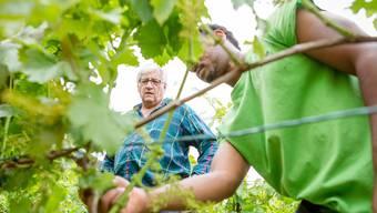 Der Aargauer Staatswein 2016 kommt aus den Auensteiner Rebbergen von Sozialarbeiter der Trinamo AG, Marcel Lang. Er ist gleichzeitig Koordinator und Organisator eines Beschäftigungsprogramm für Asylbewerber, unter anderem eben im Rebberg.