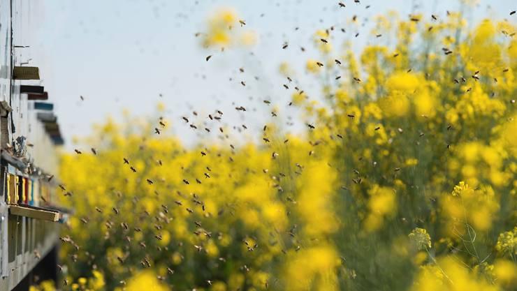 Raus aus dem Bienenkasten: Experten sehen in der Überzüchtung der Tiere ein Hauptproblem für das Bienensterben.