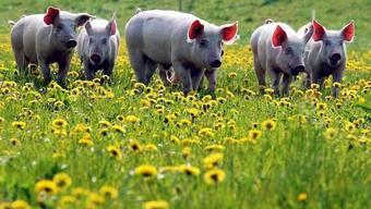 Glückliche Tiere: Schweine in Freilandhaltung (Archiv)