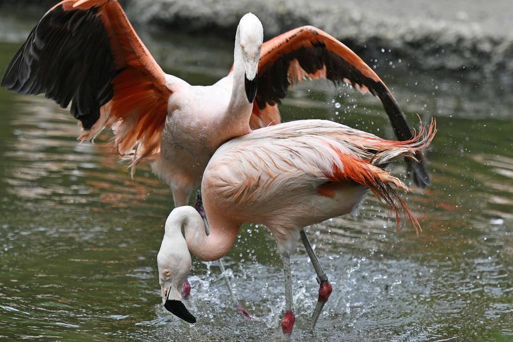 Die Chile-Flamingos haben das erste mal seit zehn Jahren Nachwuchs.