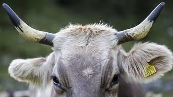 Wegen der Unfallgefahr könnten Tiere mit Hörnern vermehrt angebunden werden. Der Bundesrat lehnt die Hornkuh-Initiative daher ab. (Archivbild)
