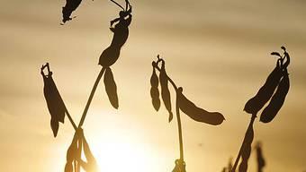 Die hohen Preise für Nahrungsmittel wie Soja verstärken die Hungersnot am Horn von Afrika (Symbolbild)