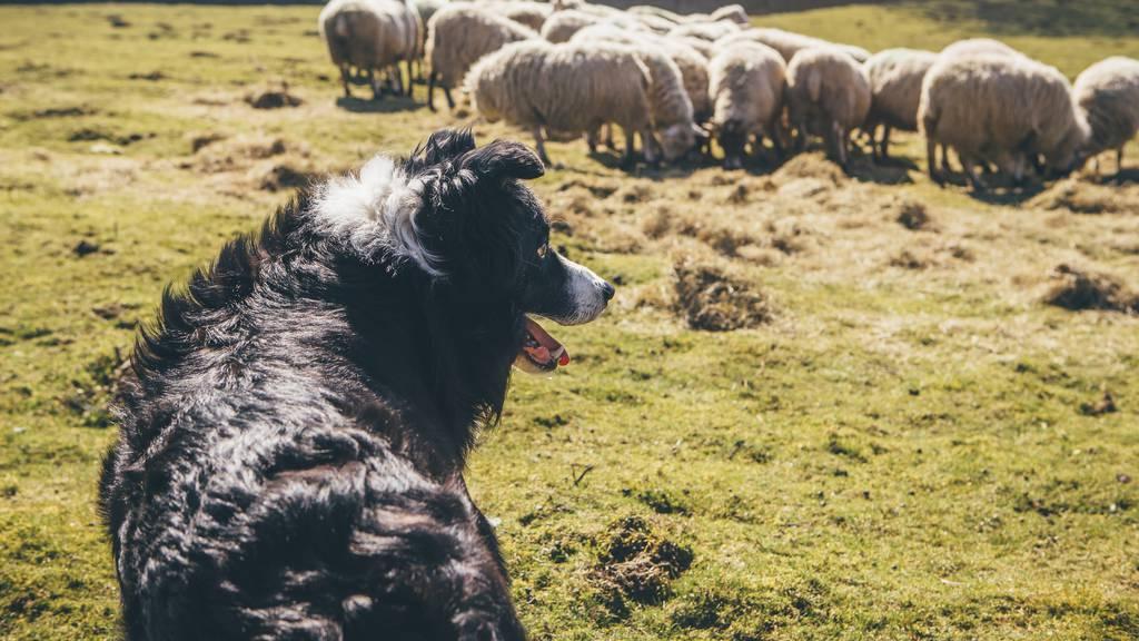 Hund reisst mitten in der Nacht sechs Schafe