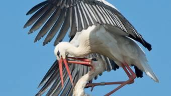 Das ist wahre Tierliebe: Storchmännchen kehrt zu seinem behinderten Weibchen nach Kroatien zurück. (Symbolbild)