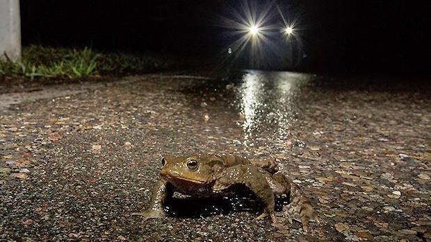 Strassen auf dem Weg zum Laichplatz werden für Kröten und andere Amphibien jeden Frühling zur tödlichen Gefahr.
