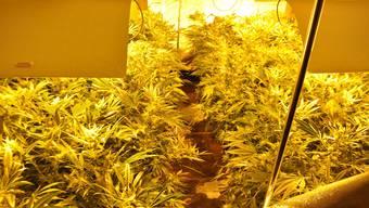 Die Polizei fand in der Wohnung eine Hanfanlage mit mehreren 100 Pflanzen.
