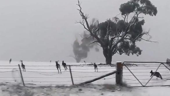 Kängurus hüpfen durch den Schnee