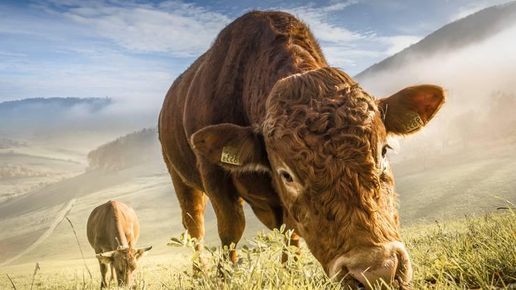 Auch die Kühe geniessen das herbstliche Wetter.