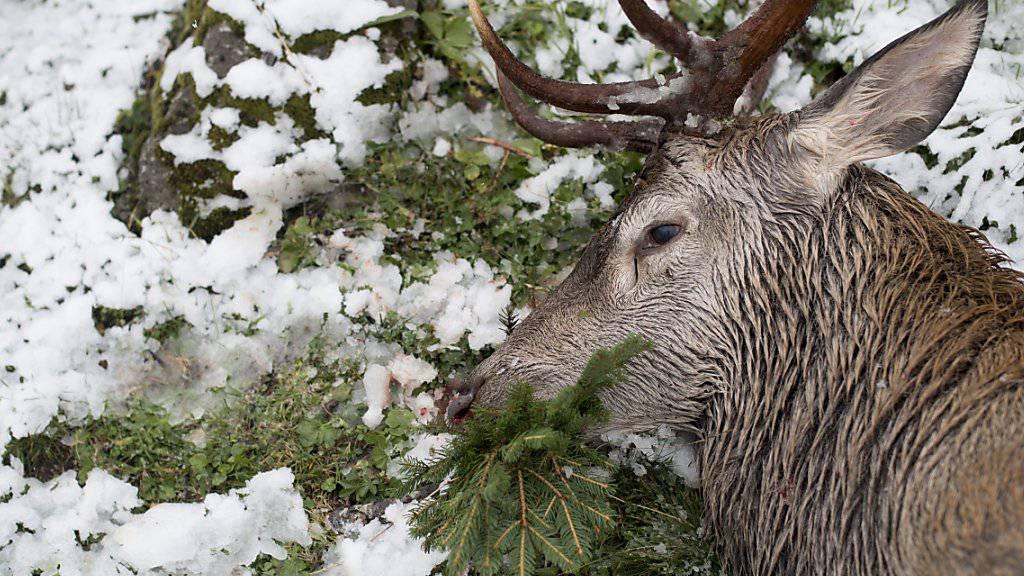 Fast 5000 Hirsche schossen die Bündner Jäger auf der diesjährigen Hochjagd. Der Abschussplan wurde trotzdem  nicht ganz erfüllt (Archivbild).