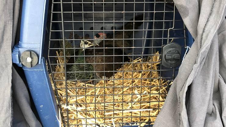Der Pfau wurde in einer Hundebox gefangen.
