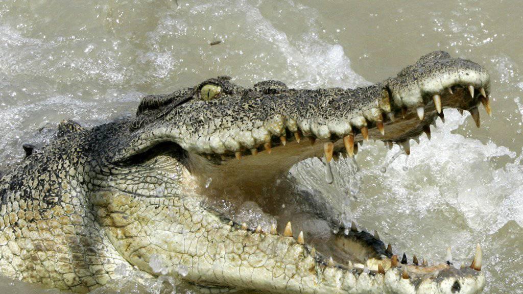 Im Norden Australiens hat sich die Krokodil-Population in den letzten 30 Jahren verdreifacht. (Archivbild)