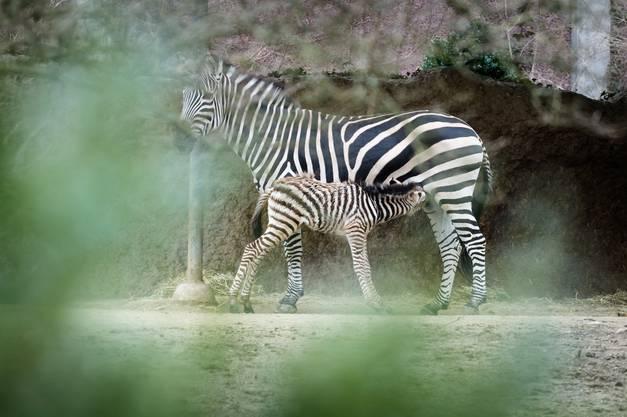 Das Zebrafohlen ist auffällig munter und trinkt mit grossem Appetit bei seiner Mutter.