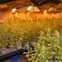 Mehrere tausend Hanfpflanzen sichergestellt