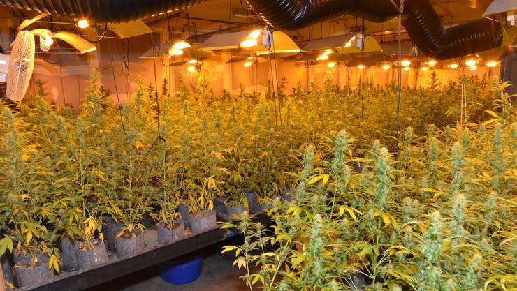 Mehrere tausend Hanfpflanzen wurden sichergestellt.