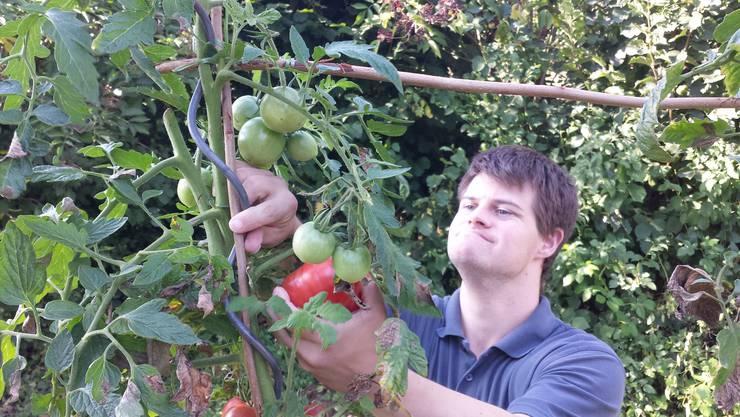 «Die Tomaten waren schnell weg»: Ein Mitglied der Wohngruppe Aareblick beim Ernten.