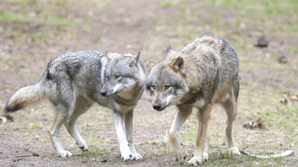 Bündner Beverin-Wolfsrudel zeigt Interesse an Wanderern
