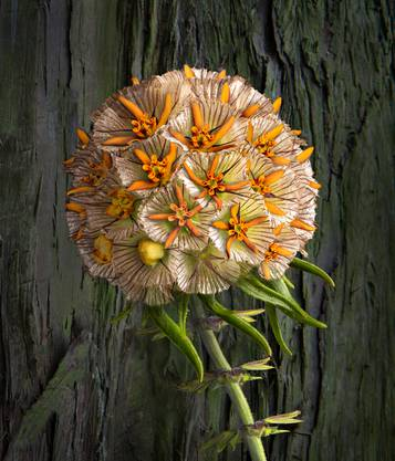 Die Collage «Beige-orange Kugel-Zauberblume» ist eine von Sam V. Furrers «Zauberblumen».