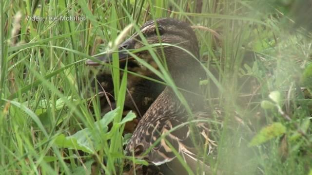 Enten auch bedroht