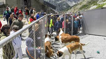Die Bernhardinerhunde erkunden ihren neuen Zwinger anlässlich der Einweihung am Freitagmorgen. (KEYSTONE/Jean-Christophe Bott)