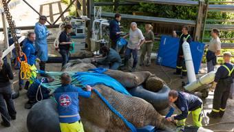 Elefant Yoga wird der Stosszahn entfernt
