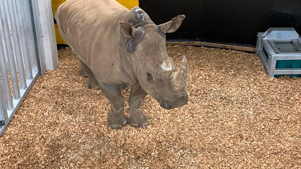 Nashörner wohlauf im Zoo Zürich angekommen