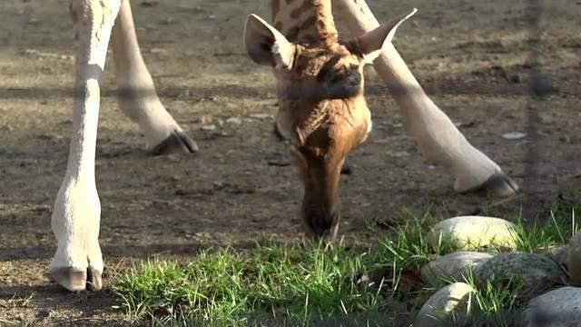 Giraffen-Nachwuchs im Zoo Basel