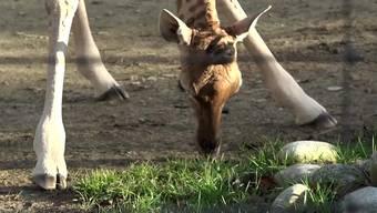 Am 22. Dezember 2018 kam im Zoo Basel die kleine Giraffen-Dame Penda zur Welt. Nach ein paar Wochen wiegt sie schon 83 kg. Trotzdem stolziert sie elegant durch das Gehege.