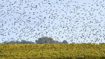 Zugvögel sammeln sich in den Reben zum Abflug in den Süden (Archiv)