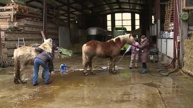 Tele M1 deckt auf: Bei einer Razzia gegen den Gränicher Unternehmer M.S. beschlagnahmt das Aargauer Veterinäramt 12 Pferde und 23 Hunde