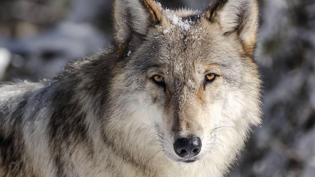 Wolf taucht in der Magadinoebene auf