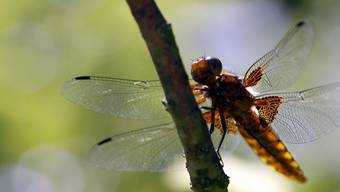 Die Menge und Vielfalt an Insekten haben in den letzten Jahrzehnten drastisch abgenommen. Gefordert sind jetzt jeder Einzelne und die Politik. (Symbolbild)