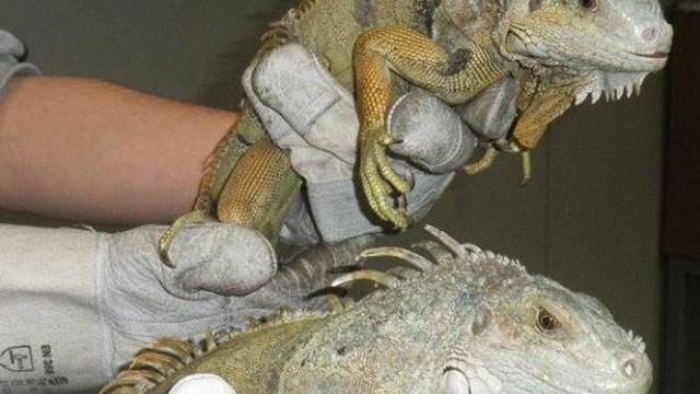 Die beiden zufällig entdeckten Leguane (Bildquelle: Tierschutz-Verein Bellinzona)