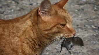 Weil sie angeblich über 300 Tierarten bedrohen, sollen Katzen zu Stubenarrest verknurrt werden, fordern niederländische Forscher. Offenbar wäre das juristisch auf der Basis von EU-Recht möglich. (Archivbild)