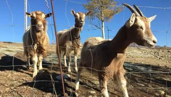 Toggenburger Ziegen mit und ohne Horn: Sie werden hornlos gezüchtet.Zur Zucht sind behornte zugelassen. Denn hornlose werden oft unfruchtbar.
