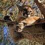 Weil er sich nicht mehr vom Baum herunter getraute, rettete die Feuerwehr in Kalifornien diesen Berglöwen aus 15 Metern Höhe.
